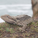 Common Bearded Dragon