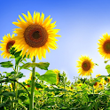 Sunflowers Live Wallpaper logo