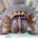 Giant Grey Huntsman Spider