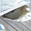 Bluegill (Sunfish)