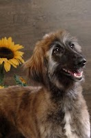 Screenshot of Afghan Hound Puzzle
