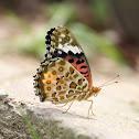 Indian Fritillary (Female)