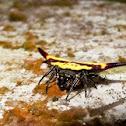 Spiny Orb Spider