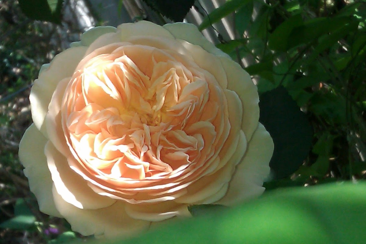 Crown Princess Margareta    David Austin Rose  1999