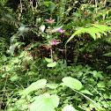 Hedge-Nettle