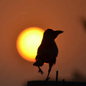 Morning Sunrise with beautifull Crow dance by Abhijeet Kumar - Landscapes Sunsets & Sunrises ( sunrise with crow, sunrise, drow )