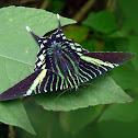 Urania swallowtail moth