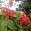 Red-berried elder