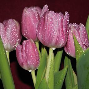 Pink Tulips by Priscilla Renda McDaniel - Flowers Flower Arangements ( water drops, pink, tulips, leaves, flowers,  )
