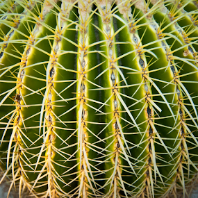 Cactus in Balboa Park, San Diego, CA by Dan Allard - Nature Up Close Other plants ( san diego, macro flower, california, plants, needles, balboa park, cactus,  )