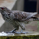 The Asian koel(female)