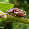 Escaravelho (Scarab)