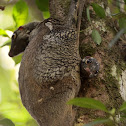 flaying lemur - Colugo