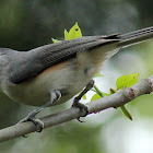 Tufted titmouse with meal