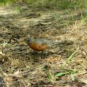 North American Robin