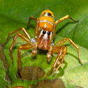 Tree Ant Cosmophasis Spider