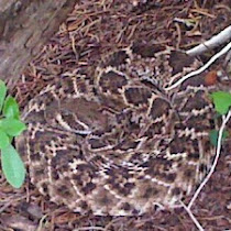 Crotalus Rattlesnakes of Texas