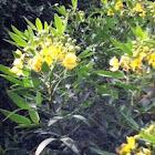 Candlestick bush