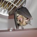 Northern leaf-nosed Bat