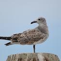 Laughing Gull (juvenile)