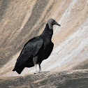 Urubu-de-Cabeça-Preta (American Black Vulture)