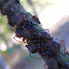 Giant oak aphids