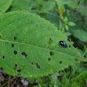 Metallic blue-green leaf beetle