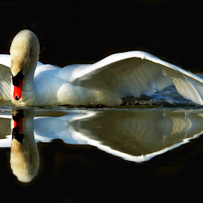 Reflections on black water by Alberto Schiavo - Animals Birds (  )