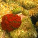 Swimming Anemone