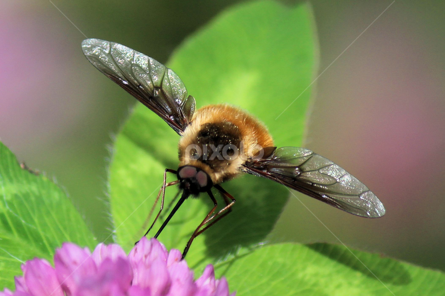 Spring Beauty 59 by Terry Saxby - Animals Insects & Spiders ( terry, ontario, batawa, saxby, moth, nancy, flower,  )