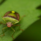 Red-backed Stink Bug