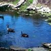 Canada Goose & Gosling
