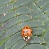 Multicolored Asian Ladybird Beetle