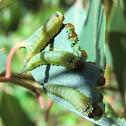 Long tailed sawfly larvae