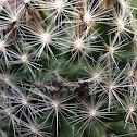 Eastern Beehive cactus