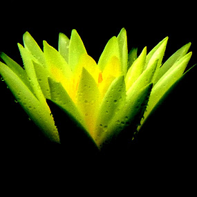 The Birth by Vikas Jorwal - Flowers Single Flower ( lotus, single flower. glow, beautiful, yellow, vikas, golden, flower,  )