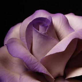 Hard Purple by Jill French - Flowers Single Flower (  )