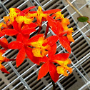 Fire-star Orchid