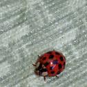 Asian Ladybug