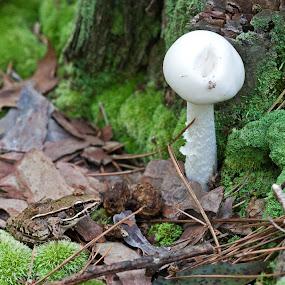 Frog prince by David Dawson - Animals Amphibians ( mushroom, fungi, frog, leopard frog, toadstool )