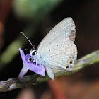Spotted Pea-blue (Male)