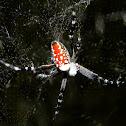 tent web spider, dome web spider
