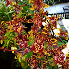 Dancing Lady Orchid