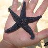 Common Sea Star (Estrela-do-mar comum)