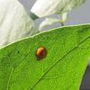 Spotless Asian Ladybug