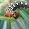 Leafy Spurge Hawk Moth