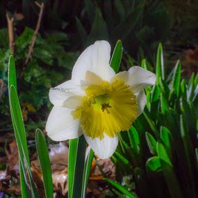 Loving light by Scott Morgan - Flowers Single Flower ( daffodil, white, yellow, light, flower,  )