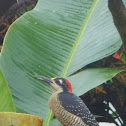 Black Cheeked Woodpecker
