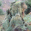 Decaying treestump