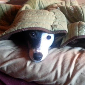 No one wants to get out of bed this morning! by Michelle Fristoe - Animals - Dogs Portraits